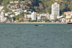 ` Matariki-` Wellington Whale Splashes Tail stockfotos