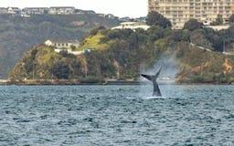 ` Matariki ` Wellington Whale Splashes Tail stock afbeeldingen