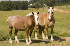 Matched Pair. Percheron draft horses standing in pasture Royalty Free Stock Photos