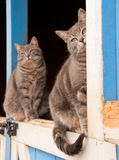 Matching pair of blue tabby cats. Sitting on top of a Dutch door of a blue barn royalty free stock image