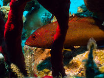 Matching reds. This fish perfectly matches the coral by which he's swimming about 60 feet below the surface off the northwest coast of Grand Cayman, in the Stock Photography
