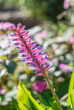 Matchstick Bromeliad,aechmea gamosepala flower pink and blue Stock Images