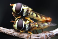 Mate insect flies hoverfly close up macro royalty free stock photography