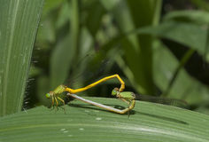 Mated damslflies on leaf Stock Photos