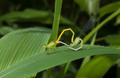 Mated damslflies on leaf Royalty Free Stock Photography