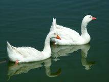 Mated Geese. Two Geese on the Lake Stock Photo