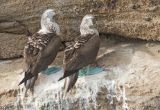 Mated Pair of Blue-Footed Boobies Royalty Free Stock Photos