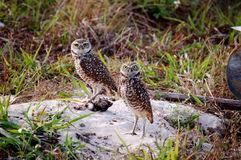 Mated Pair Burrowing Owls. A mated pair of burrowing owls stand on their burrow royalty free stock photography