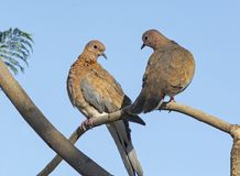 Mated Pair of Laughing Doves. Perched in a jacaranda tree with a clear blue sky in the background stock image