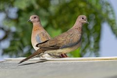 Mated Pair of Laughing Doves Perched on a Shed Roof royalty free stock photo