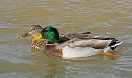 A mated pair of Mallard Ducks. Swimming on a local river Stock Photography