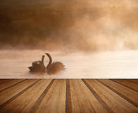 Mated pair of swans on misy foggy ASutumn Fall lake touching sce Royalty Free Stock Images
