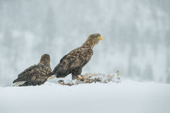 A mated pair of White Tailed Eagles. The female has taken possession of the food from her mate, and he won't get any more to eat until she allows him to Stock Photos
