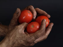 Mater Season. Rugged and dirty hands hold beautiful bright red tomatoes against a black background Stock Images