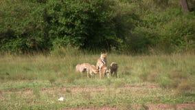 Materiał filmowy gepardy Chodzi Z Ich chwytem zbiory