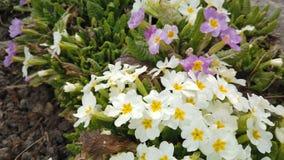 Materiał filmowy piękni kolorowi kwiaty kwitnie w wiosna ogródzie Dekoracyjny kolorowy kwiatu okwitnięcie w wiośnie zdjęcie wideo