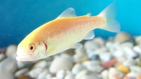 Materiał filmowy pojedynczy złoty tęcza pstrąga ryby dopłynięcie w rybim zbiorniku w zakończeniu w górę zdjęcie wideo