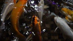 Materiał filmowy ryba w dużym akwarium zbliżeniu Zwolnionego Tempa 120 fps zdjęcie wideo