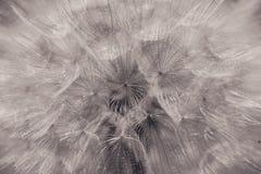 materiał siewny mniszek Abstrakcjonistyczna makro- fotografia artystyczna tło Zdjęcie Stock