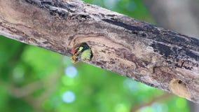 Materiału filmowego zielonego dzięcioła jałowego jedzenia usuwanie od gniazdeczka zbiory
