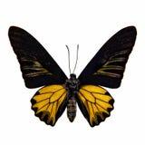 Materia de la mariposa aislada en blanco: Aeacus birdwing de oro de Troides Fotos de archivo