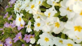 Materia? filmowy pi?kni kolorowi kwiaty kwitnie w wiosna ogr?dzie Dekoracyjny kolorowy kwiatu okwitni?cie w wio?nie zbiory