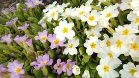 Materia? filmowy pi?kni kolorowi kwiaty kwitnie w wiosna ogr?dzie Dekoracyjny kolorowy kwiatu okwitni?cie w wio?nie zdjęcie wideo