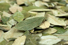 Materia prima de la cocaína - hojas secadas de la coca Fotos de archivo libres de regalías