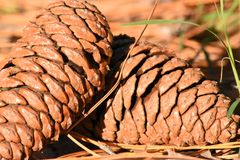Material, Conifer Cone, Tree, Pine Nut stock photography