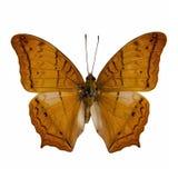 Material da borboleta: Cruzador imagem de stock royalty free