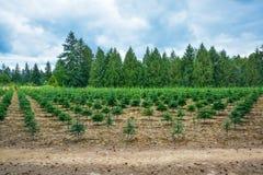 Material de plantación de los árboles de pino en el camino Imágenes de archivo libres de regalías