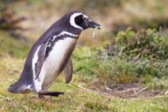 Material för rede för Magellanic pingvinsammankomst Royaltyfri Fotografi