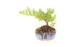 Materiale conservato in vaso dell'albero dei bonsai del ginepro nel centro isolato Fotografie Stock