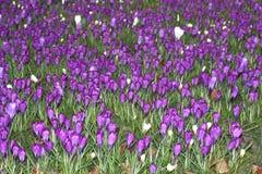 Materiale illustrativo della natura con i croco di fioritura Fotografie Stock Libere da Diritti
