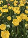Materiale illustrativo delle nature - tulipani sopra i tulipani immagini stock libere da diritti
