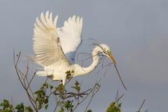Materiale per il nido di trasporto della grande egretta in suo becco Fotografia Stock