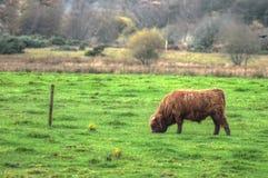 Materielbild av Skottland Angus Bulls och kor arkivfoto