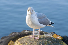 Materielfoto av en seagull i hamn Arkivbild