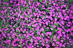 Materielfoto - bakgrundsblommarosa färg Arkivfoton