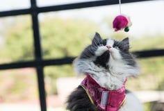 Materielfoto - förtjusande skämtsamma Cat Chinese New Years Royaltyfri Bild