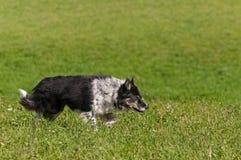 Materielhunden förföljer rätt Royaltyfri Bild
