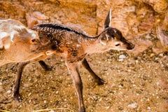 The maternal instinct of the deer stock photo