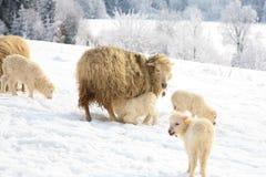 Maternal instinct. Mother sheep breast feeding her little lamb. Maternal instinct. Live on farm by winter Royalty Free Stock Photos