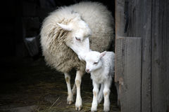 Maternal instinct. Sheep and lamb. Sheep with a lamb standing in the doorway of the barn. Maternal instinct Stock Photo