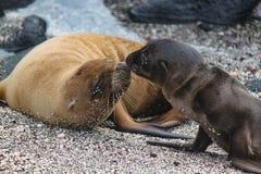 Maternità - leoni marini di Galapagos del bambino e della madre Fotografie Stock