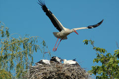 Maternity. Stork, flying for food stock image