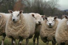 Mates. Friendly sheep Stock Photo