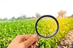 Matforskaren kontrollerar pepparen för kemikalieer och bekämpningsmedel användbara sunda grönsaker pomology Agroindustry lantbruk arkivbild