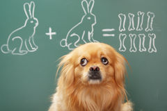 Mathematician. Education idea joke about dreamy dog studying mathematics. Focus on eyes of dog Stock Images