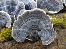 Matière inflammable de champignon de couche Photos stock
